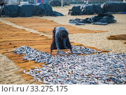 NEBOMBO, SRI LANKA - FEBRUARY 03, 2020: A woman lays fish on the mats for drying. Стоковое фото, фотограф Виктор Карасев / Фотобанк Лори