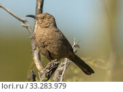 Купить «Curve-billed thrasher (Toxostoma curvirostre), Sonoran desert, Arizona, USA.», фото № 33283979, снято 31 мая 2020 г. (c) Nature Picture Library / Фотобанк Лори
