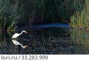 Купить «Great white egret (Egretta alba) hunting for fish in a marshland pool near dense red beds, RSPB Ham Wall reserve, Somerset, UK, October.», фото № 33283999, снято 9 апреля 2020 г. (c) Nature Picture Library / Фотобанк Лори