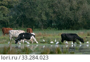Купить «Group of Cattle egrets (Bubulcus ibis) foraging for insects flushed by Cows (Bos taurus) grazing flooded marshy pastureland, Somerset Levels, UK, October.», фото № 33284023, снято 29 марта 2020 г. (c) Nature Picture Library / Фотобанк Лори