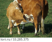 Купить «Older calf suckling milk from its mother among cows in a suckler herd grazing on a downland pasture», фото № 33285375, снято 1 апреля 2020 г. (c) Nature Picture Library / Фотобанк Лори