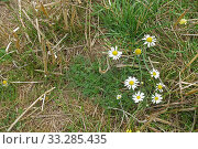 Scentless mayweed (Tripleurospermum inodorum) with annual grasses... Стоковое фото, фотограф Nigel Cattlin / Nature Picture Library / Фотобанк Лори