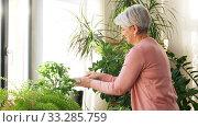 Купить «happy senior woman cleaning houseplant», видеоролик № 33285759, снято 19 января 2020 г. (c) Syda Productions / Фотобанк Лори