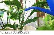 Купить «watering can pouring water to spathiphyllum flower», видеоролик № 33285835, снято 19 января 2020 г. (c) Syda Productions / Фотобанк Лори
