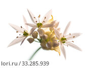Ramsons or wild garlic (Aliium ursinum) flower with white background. Стоковое фото, фотограф Steve Nicholls / Nature Picture Library / Фотобанк Лори