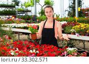 Купить «Young female gardener working with dipladenia plants in pots», фото № 33302571, снято 4 июля 2020 г. (c) Яков Филимонов / Фотобанк Лори