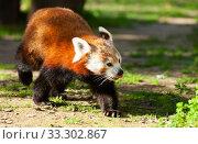 Купить «Red panda walking on ground», фото № 33302867, снято 29 марта 2020 г. (c) Яков Филимонов / Фотобанк Лори