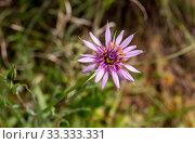 Купить «The plant (Tragopogon porrifolius ssp. australis) grows close-up in the forest», фото № 33333331, снято 2 марта 2020 г. (c) Татьяна Ляпи / Фотобанк Лори