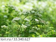Ветка Спиреи дубравколистной (Spiraea chamaedryfolia) обильно цветёт на зелёном фоне. Стоковое фото, фотограф Светлана Попова / Фотобанк Лори
