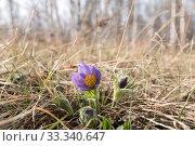 Синий цветок Прострела раскрытого (lat. Pulsatílla pátens) или Сон-травы (lat. Anemone patents) на фоне леса. Стоковое фото, фотограф Светлана Попова / Фотобанк Лори