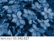Пышно цветущий куст клематиса сорта Виль де Лион (Clematis Ville de Lyon) группы Витицелла. Тонирование в классический синий. Стоковое фото, фотограф Наталья Гармашева / Фотобанк Лори
