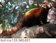 Купить «Wild red panda sitting on tree branch in the park», фото № 33343651, снято 29 марта 2020 г. (c) Яков Филимонов / Фотобанк Лори