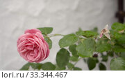 pale pPink climbing roses on the white wall, slow motion. Стоковое видео, видеограф Ирина Мойсеева / Фотобанк Лори