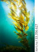 Sun shining through Giant kelp (Macrocystis pyrifera) off San Diego, California, USA. Non-ex. Стоковое фото, фотограф Shane Gross / Nature Picture Library / Фотобанк Лори