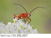 Common red soldier beetle (Rhagonycha fulva) with pollen-covered face, Brockley Cemetery, Lewisham, London, England, UK. June. Стоковое фото, фотограф Rod Williams / Nature Picture Library / Фотобанк Лори