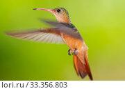 Купить «Cinnamon Hummingbird (Amazilia rutila) flying, Ria Celestun Biosphere Reserve, Yucatan Peninsula, Mexico, August», фото № 33356803, снято 31 мая 2020 г. (c) Nature Picture Library / Фотобанк Лори