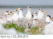 Купить «Royal Tern (Thalasseus / Sterna maxima) chick creche, nursery, Ria Lagartos Biosphere Reserve, Yucatan Peninsula, Mexico, July», фото № 33356811, снято 31 мая 2020 г. (c) Nature Picture Library / Фотобанк Лори