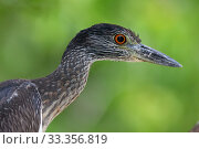 Купить «Yellow-crowned Night-heron (Nyctanassa violacea) juvenile, Ria Celestun Biosphere Reserve, Yucatan Peninsula, Mexico, January», фото № 33356819, снято 13 июля 2020 г. (c) Nature Picture Library / Фотобанк Лори
