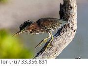 Купить «Green Heron (Butorides virescens), Ria Lagartos Biosphere Reserve, Yucatan Peninsula, Mexico, May», фото № 33356831, снято 29 мая 2020 г. (c) Nature Picture Library / Фотобанк Лори