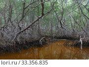 Купить «Red Mangrove (Rhizophora mangle) forest, Ria Celestun Biosphere Reserve, Yucatan Peninsula, Mexico, January», фото № 33356835, снято 25 мая 2020 г. (c) Nature Picture Library / Фотобанк Лори