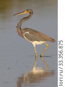 Купить «Tricolored Heron (Egretta tricolor), Chuburna, Yucatan Peninsula, Mexico, January», фото № 33356875, снято 13 июля 2020 г. (c) Nature Picture Library / Фотобанк Лори