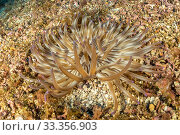Купить «Golden anemone (Condylactis aurantiaca), this species always remains largely buried in sand or sediment, attached to the substrate, with only the oral...», фото № 33356903, снято 3 июля 2020 г. (c) Nature Picture Library / Фотобанк Лори