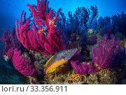 Купить «Cuckoo wrasse (Labrus mixtus) male in front of Red sea fan, (Paramuricea clavata), Stupiste In dive site, Vis Island, Croatia, Adriatic Sea, Mediterranean», фото № 33356911, снято 5 июля 2020 г. (c) Nature Picture Library / Фотобанк Лори