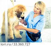 Купить «woman hairdresser cuts Afghan puppy Shepherd in beauty salon for animals», фото № 33360727, снято 17 октября 2017 г. (c) Татьяна Яцевич / Фотобанк Лори