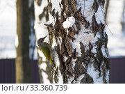 Сизый дятел на березе. Стоковое фото, фотограф Светлана Пальцева / Фотобанк Лори
