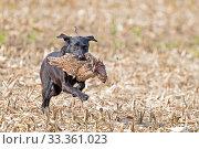 Купить «Labrador retrieving a Common pheasant (Phasianus colchicus), Bas-Rhin, France, November.», фото № 33361023, снято 4 апреля 2020 г. (c) Nature Picture Library / Фотобанк Лори