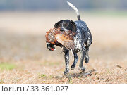 Купить «Spaniel retrieving a Common Pheasant (Phasianus colchicus), Bas-Rhin, France, November.», фото № 33361027, снято 4 апреля 2020 г. (c) Nature Picture Library / Фотобанк Лори