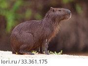 Capybara (Hydrochaeris hydrochaeris) portrait, Pantanal, Mato Grosso, Brazil. Стоковое фото, фотограф Sylvain Cordier / Nature Picture Library / Фотобанк Лори