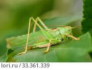 Большой кузнечик сидит на листике. Стоковое фото, фотограф Игорь Низов / Фотобанк Лори