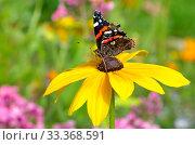 Купить «Бабочка Адмирал (лат. Vanessa atalanta) на желтом цветке рудбекии в саду», фото № 33368591, снято 12 августа 2019 г. (c) Елена Коромыслова / Фотобанк Лори