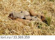 Купить «Поросята вьетнамской породы лежат в соломе», фото № 33369359, снято 5 августа 2017 г. (c) Ирина Борсученко / Фотобанк Лори