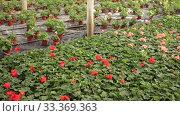 Купить «Plantation of flowers geranium in orangery», видеоролик № 33369363, снято 29 октября 2019 г. (c) Яков Филимонов / Фотобанк Лори