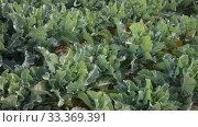 Купить «Rows of green young cabbages growing on large plantation on sunny spring day», видеоролик № 33369391, снято 18 января 2020 г. (c) Яков Филимонов / Фотобанк Лори