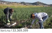 Купить «Couple of farmers harvest crop of onions on the field», видеоролик № 33369399, снято 5 февраля 2020 г. (c) Яков Филимонов / Фотобанк Лори