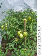 Купить «Зеленые помидоры растут в парнике», фото № 33375167, снято 15 июля 2019 г. (c) Елена Коромыслова / Фотобанк Лори