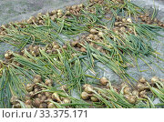 Купить «Урожай репчатого лука сушится на пленке», фото № 33375171, снято 15 июля 2019 г. (c) Елена Коромыслова / Фотобанк Лори
