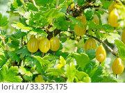 Купить «Спелые ягоды желтого крыжовника на ветках в саду», фото № 33375175, снято 15 июля 2019 г. (c) Елена Коромыслова / Фотобанк Лори