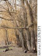 Купить «Ивы на берегу пруда, парк Покровское-Стрешнево», фото № 33376571, снято 9 марта 2020 г. (c) Наталия Шевченко / Фотобанк Лори