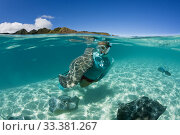 Snorkeling with Pink Whipray in Lagoon, Pateobatis fai, Moorea, French Polynesia. Редакционное фото, фотограф Reinhard Dirscherl / age Fotostock / Фотобанк Лори