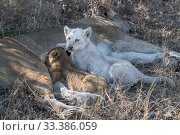 Купить «Lion (Panthera leo) female suckling cubs, one cubs a leucistic white male. Greater Kruger National Park, South Africa.», фото № 33386059, снято 28 марта 2020 г. (c) Nature Picture Library / Фотобанк Лори