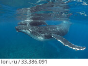 Купить «Humpback whale (Megaptera novaeangliae) calf riding on mother's head. Near Nomuka Island, Ha'apai Islands, Tonga.», фото № 33386091, снято 9 апреля 2020 г. (c) Nature Picture Library / Фотобанк Лори