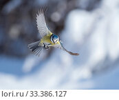 Купить «Great tit (Parus major) male in flight,Bavaria, Germany. February.», фото № 33386127, снято 4 апреля 2020 г. (c) Nature Picture Library / Фотобанк Лори