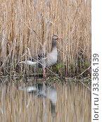 Купить «Greylag goose (Anser anser) in reedbed, Bavaria, Germany. April.», фото № 33386139, снято 4 июля 2020 г. (c) Nature Picture Library / Фотобанк Лори