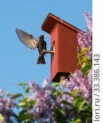 Купить «Starling (Sturnus vulgaris) at nest box, Germany. May.», фото № 33386143, снято 3 апреля 2020 г. (c) Nature Picture Library / Фотобанк Лори