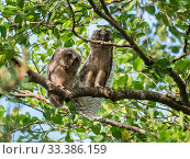 Long-eared owls (Asio otus) in alder tree, Asio otus, Bavaria, Germany, July. Стоковое фото, фотограф Konrad Wothe / Nature Picture Library / Фотобанк Лори