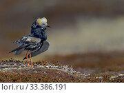 Купить «Ruff (Philomachus pugnax) male, Varanger, Norway, May», фото № 33386191, снято 9 апреля 2020 г. (c) Nature Picture Library / Фотобанк Лори